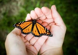 monarch butterfly in hands